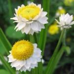 Flori nemuritoare: imortele, flori de pai, bumbuscute