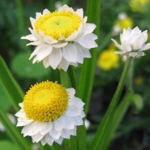 1-Ammobium Alatum Imortela floare anuala de gradina