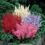 1-Astilbe floare de gradina ideala pentru zonele umbroase