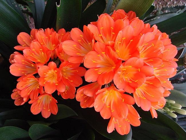 1-Crinul rosu sau Clivia floare pentru balcon umbros