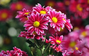 1-Crizanteme sau tufanele care absorb impuritatile din aer