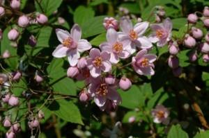 1-Deutzia arbust ornamental gard viu cu flori alb roz