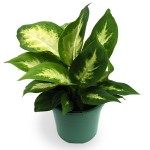 1-Dieffenbachia planta de apartament decorativa prin frunze