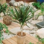 1-Dracena planta de interior originara din Africa