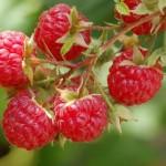 5 arbusti de gradina cu fructe benefice sanatatii
