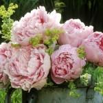 1-buchet de bujori roz pentru gradini cu straturi colorate