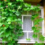 1-cultivare fasole in gradina din balconul apartamentului