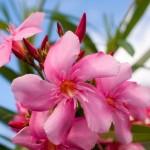 1-flori de Leandru roz un arbust ornamental foarte otravitor