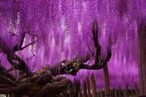 12 imagini superbe cu glicina inflorita
