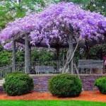 Plante cataratoare iubitoare de soare pentru gradina