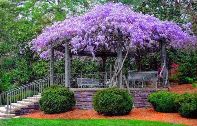 1-glicina sau wisteria decor foisor de gradina