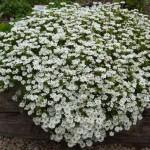 1-iberis sempervirens floare perena taratoare
