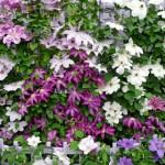 1-mix de Clematis multicolor decor gradina