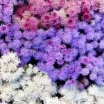 1-mix de Pufuleti sau Ageratum flori anuale de vara