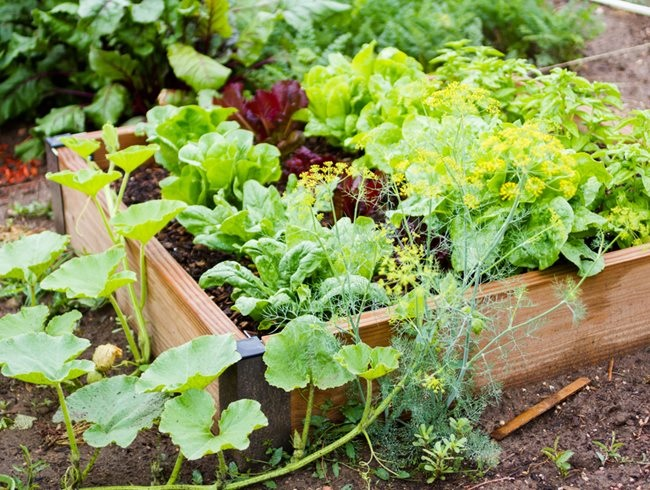 1-salata si verdeturi in straturi inaltate idei gradina mica