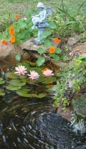 10-nuferi roz amenajare mic iaz ornamental in curtea casei