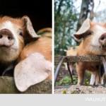 12-purcelusi rasa orxford patati ferma walnuts din marea britanie