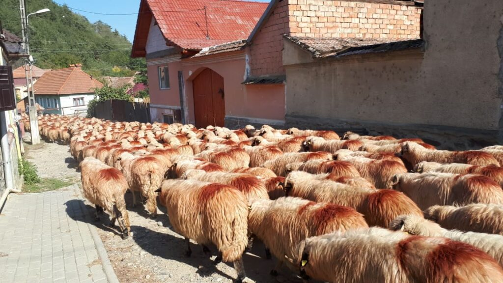 14 turma de oi de la munte trece prin sat