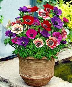 2-Anemona sau Floarea Pastelui flori care rezista la umbra