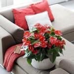 2-Anthurium cu flori rosii planta otravitoare de apartament