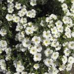 2-Arenaria montana planta perena acoperitoare de sol