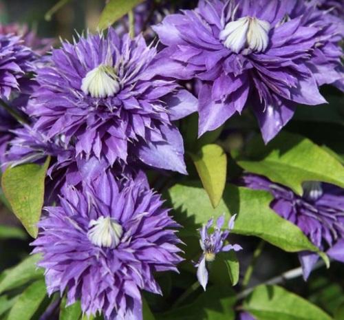 Clematis flori batute culoare violet