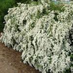 2-Cununita Floarea miresei sau Spiraea Vanhouttei arbust ornamental gradina