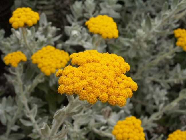 2-Flori de pai sau Helicrisum floare anuala nemuritoare