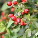 2-Maces arbust medicinal ce poate fi cultivat in gradina
