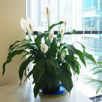 5 plante de apartament care prefera umbra