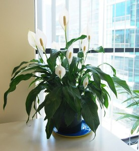 5 plante de apartament care prefera umbra