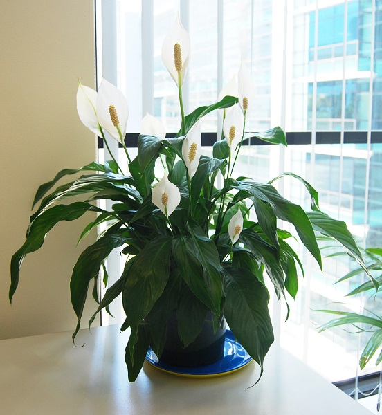 2-Spathiphyllum planta de apartament cu flori albe