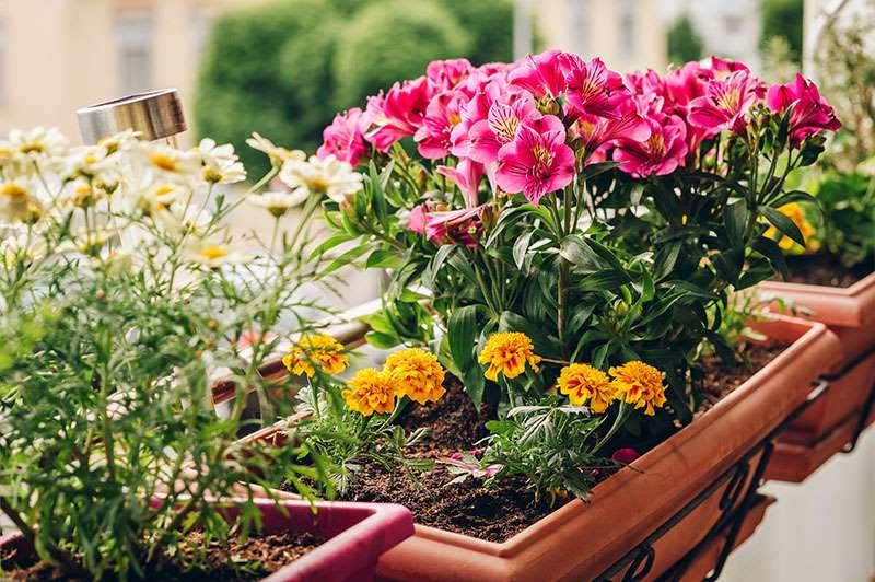 2-craite combinatii crini margarete pitice jardiniere balcon