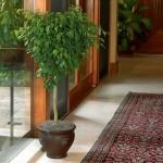 2-ficus Benjamin arbust ornamental de apartament