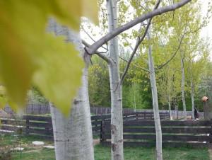 2 frunze de plopi langa padure