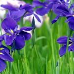 2-iris albastru floare perena pentru straturi colorate in gradina