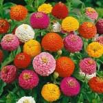 2-mix de carciumarese flori anuale colorate
