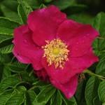 2-trandafir de dulceata Rosa Rugosa