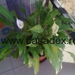 floarea spatifilum