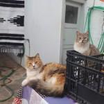 24-pisici frumoase in curtea unei case de pe insula Hydra Grecia