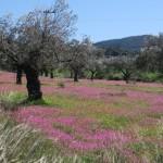 25-plantatie maslini si flori de camp in drum spre insula Hydra Grecia