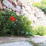 28-flori salbatice pe o straduta de pe insula Hydra