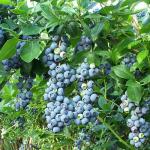 3-Afin plin cu fructe arbust medicinal de gradina