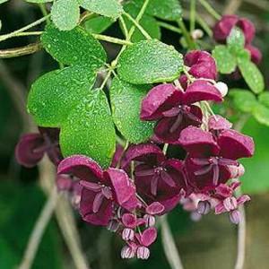 3-Akebia quinata liana decorativa de gradina