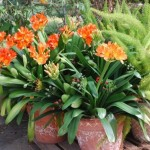 3-Clivia un tip de crin cu flori portocalii extrem de toxic