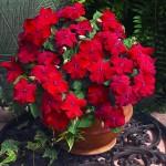 3-Impatiens sau Sporul casei planta de apartament cu flori