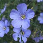 3-Linum Perenne sau Inul decorativ floare perena de gradina