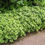 3-Pachysandra planta perena acoperitoare de sol
