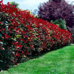3-Photinia arbust ornamental gard viu