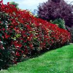 3-Photinia arbust ornamental gard viu